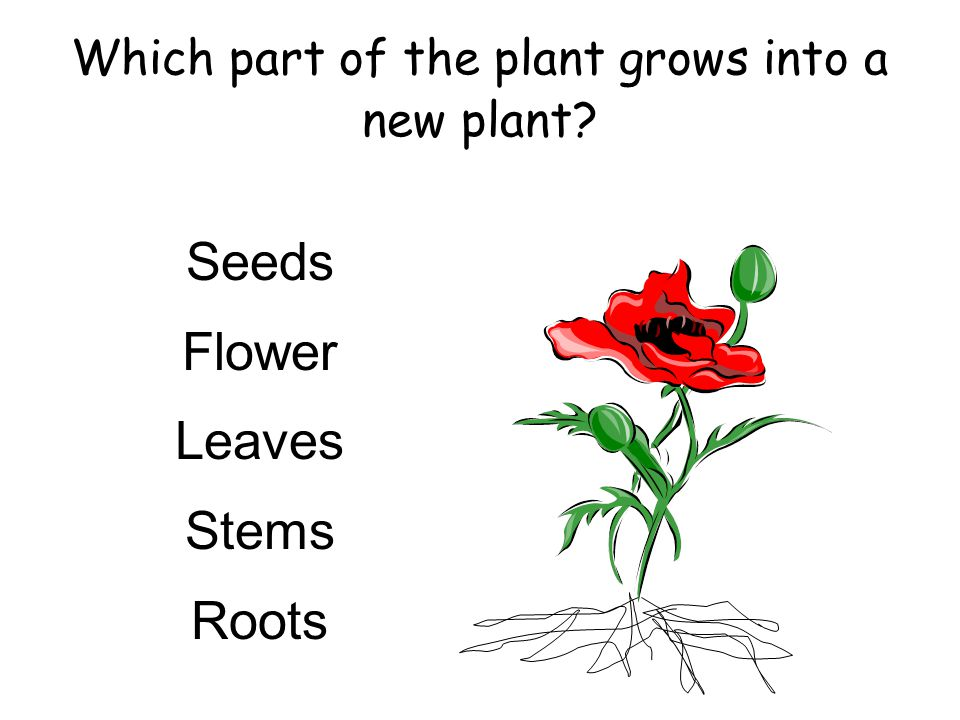 Which part of the plant grows into a new plant? Seeds Flower Leaves Stems Roots