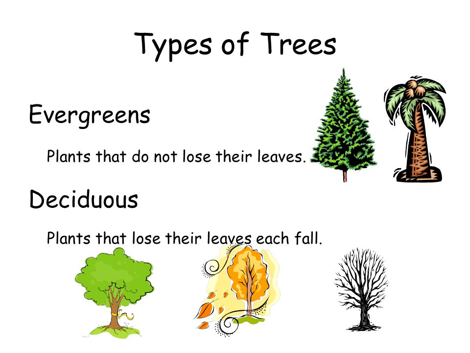 Types of Trees Evergreens Plants that do not lose their leaves. Deciduous Plants that lose their leaves each fall.
