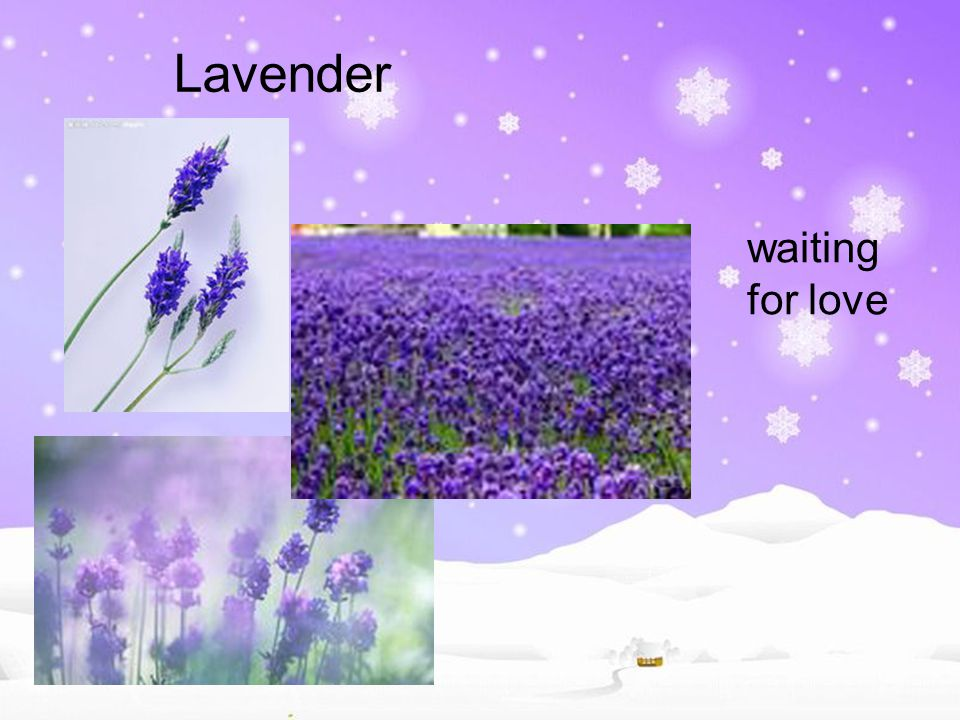 Lavender waiting for love