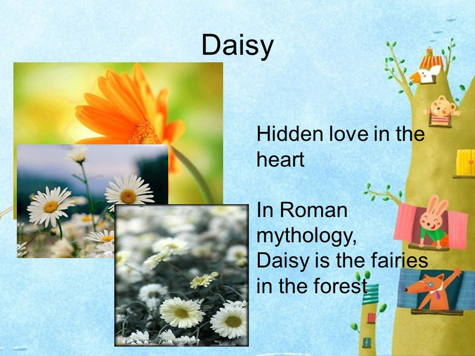 Daisy Hidden love in the heart In Roman mythology, Daisy is the fairies in the forest