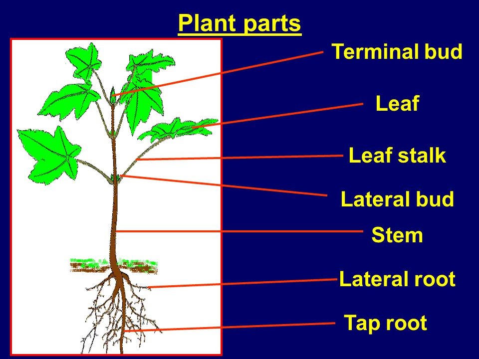 Plant parts Terminal bud Leaf Lateral bud Stem Tap root Lateral root Leaf stalk