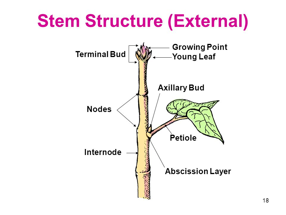18 Stem Structure (External) Terminal Bud Petiole Abscission Layer Nodes Internode Growing Point Young Leaf Axillary Bud