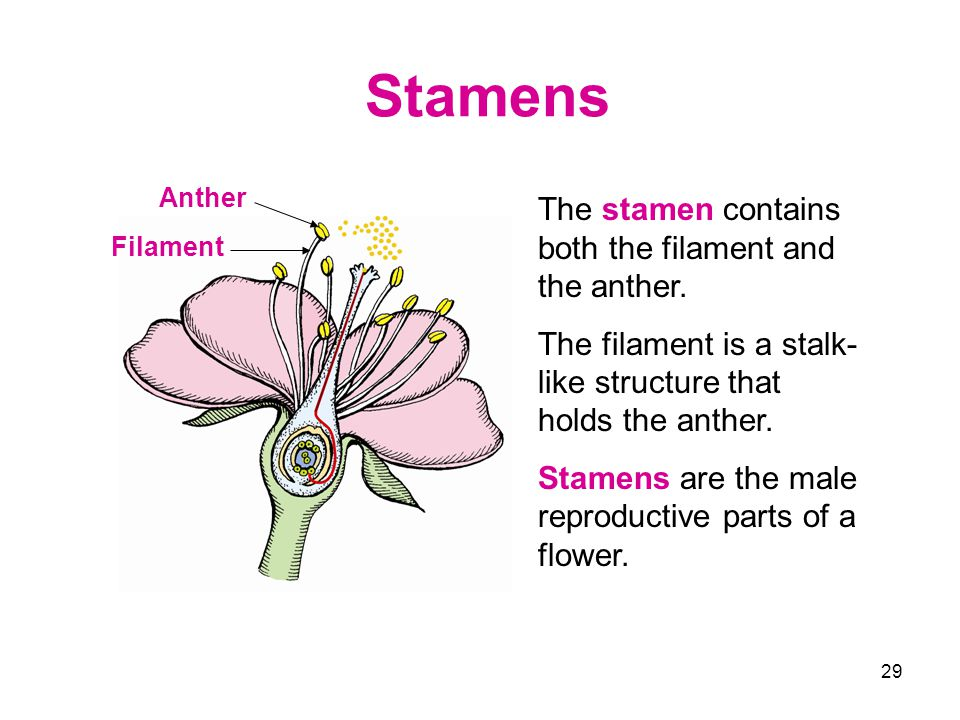 29 Stamens Anther The stamen contains both the filament and the anther. The filament is a stalk- like structure that holds the anther. Stamens are the