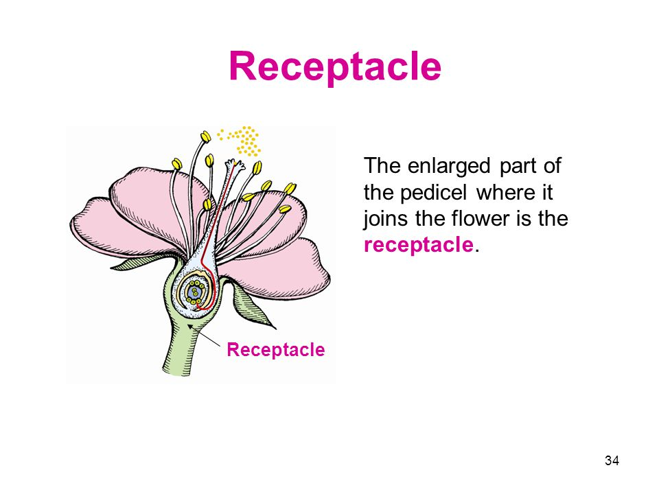 34 Receptacle The enlarged part of the pedicel where it joins the flower is the receptacle. Receptacle