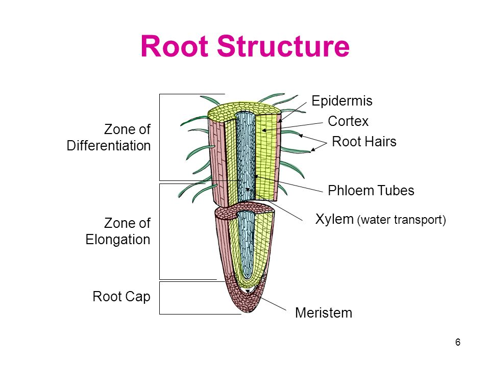 6 Root Structure Xylem (water transport) Meristem Root Hairs Epidermis Cortex Phloem Tubes Root Cap Zone of Elongation Zone of Differentiation