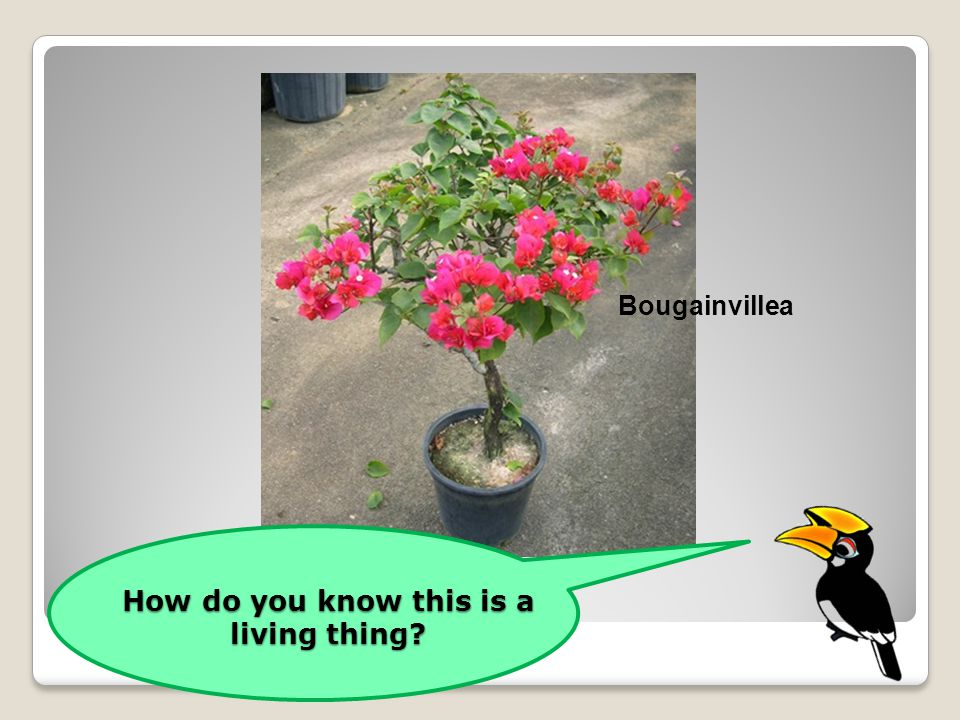 How do you know this is a living thing? Bougainvillea