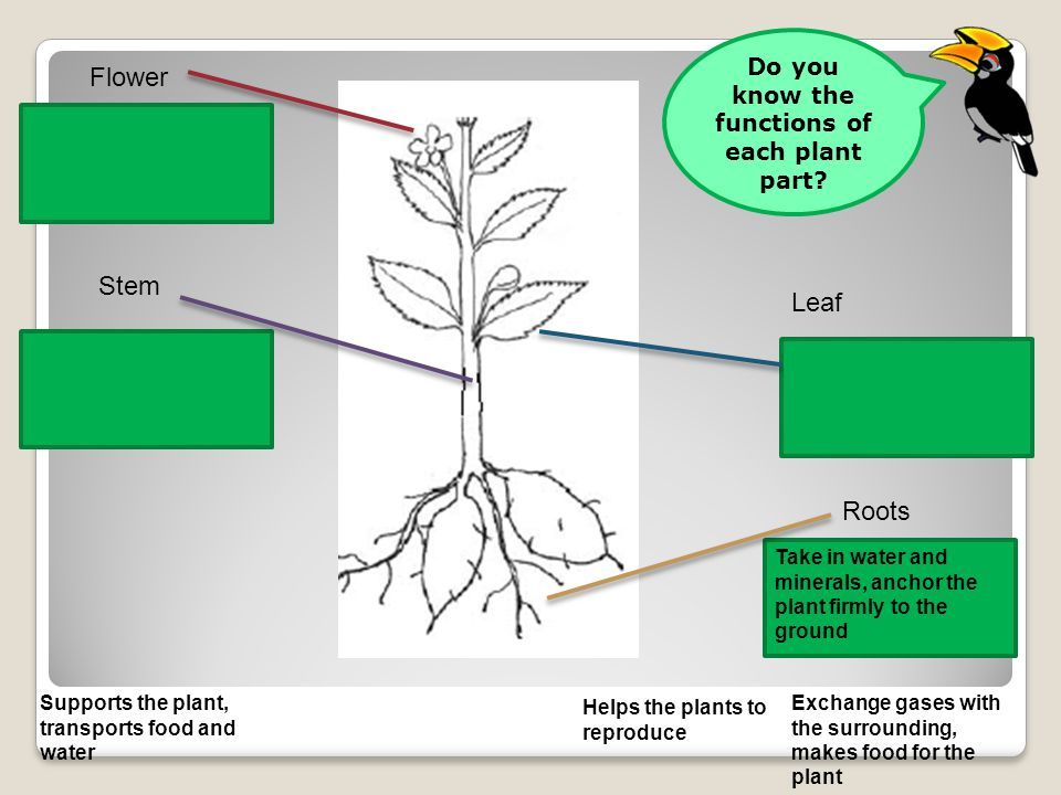 Flower Leaf Stem Roots Supports the plant, transports food and water Take in water and minerals, anchor the plant firmly to the ground Helps the plants to reproduce Exchange gases with the surrounding, makes food for the plant Do you know the functions of each plant part?