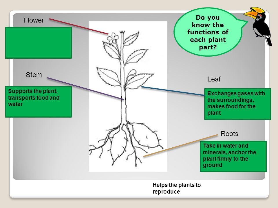 Flower Leaf Stem Roots Supports the plant, transports food and water Take in water and minerals, anchor the plant firmly to the ground Helps the plants to reproduce Exchanges gases with the surroundings, makes food for the plant Do you know the functions of each plant part?
