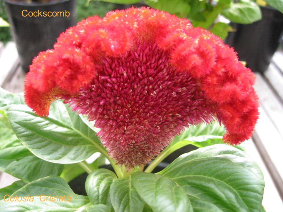 Cockscomb Celosia Cristata