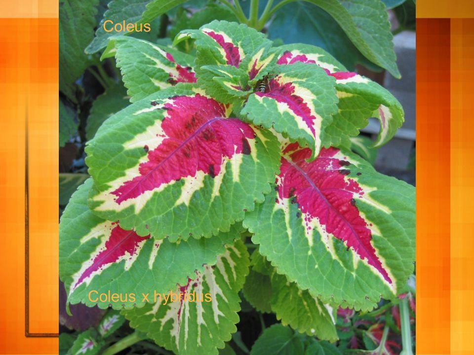 Coleus Coleus x hybridus