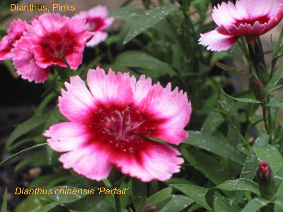 Dianthus, Pinks Dianthus chinensis Parfait