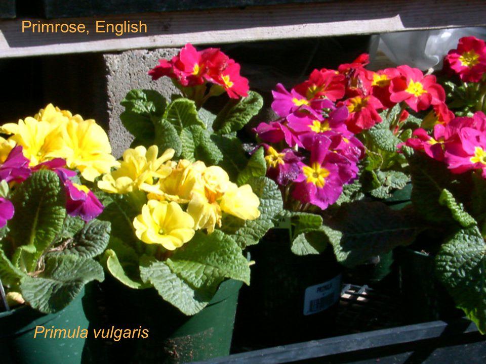 Primrose, English Primula vulgaris