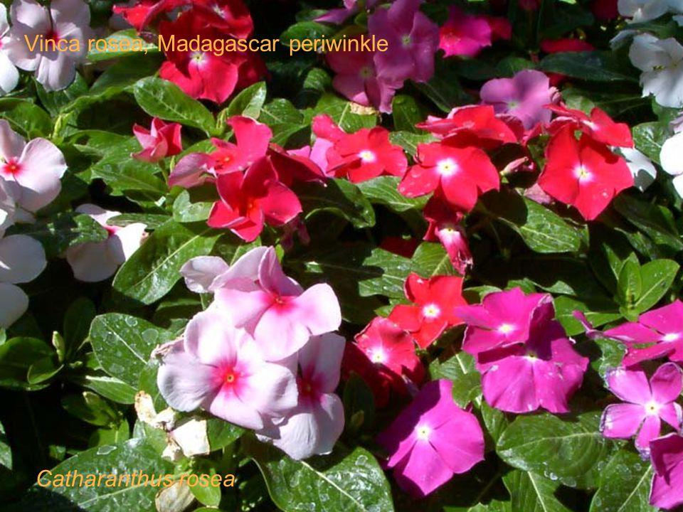 Catharanthus rosea Vinca rosea, Madagascar periwinkle