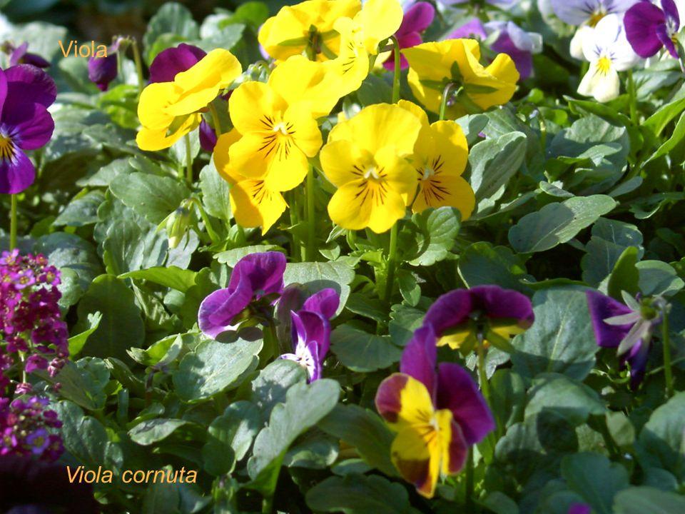 Viola cornuta Viola
