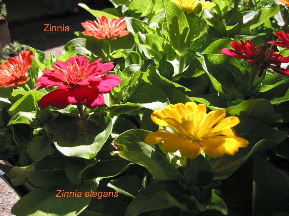 Zinnia Zinnia elegans Zinnia Zinnia elegans