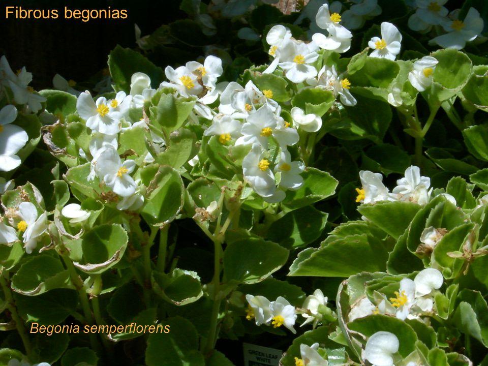 Fibrous begonias Begonia semperflorens