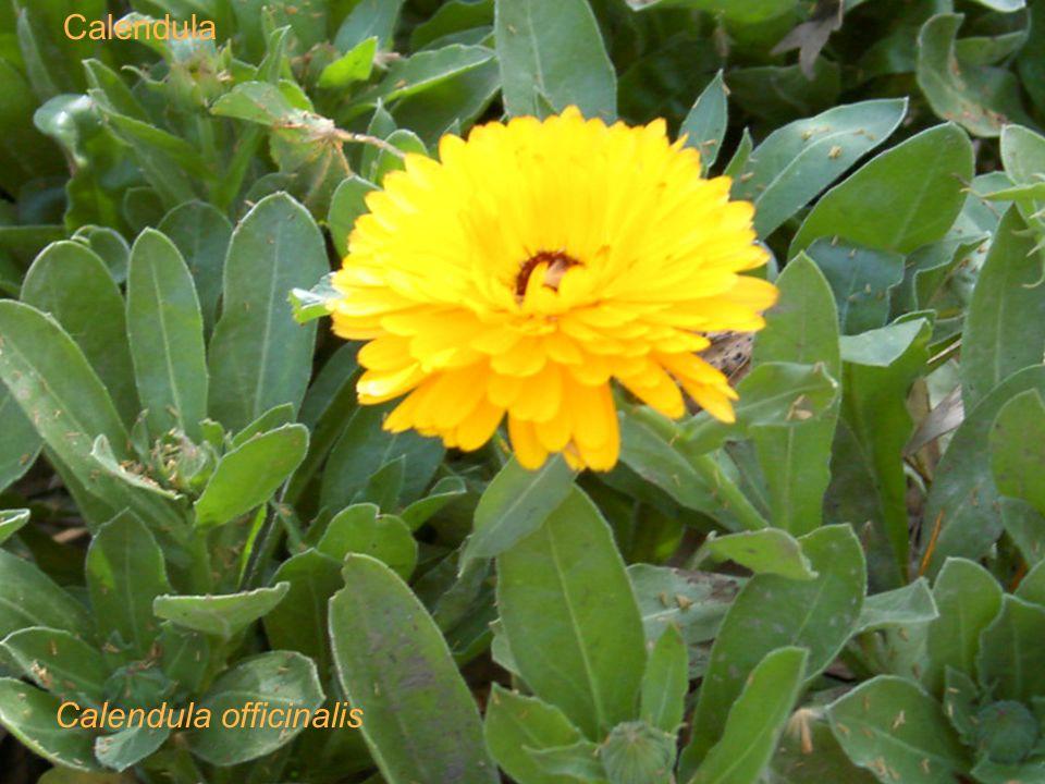 Calendula Calendula officinalis