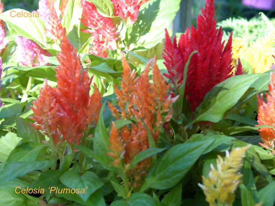Celosia Celosia Plumosa