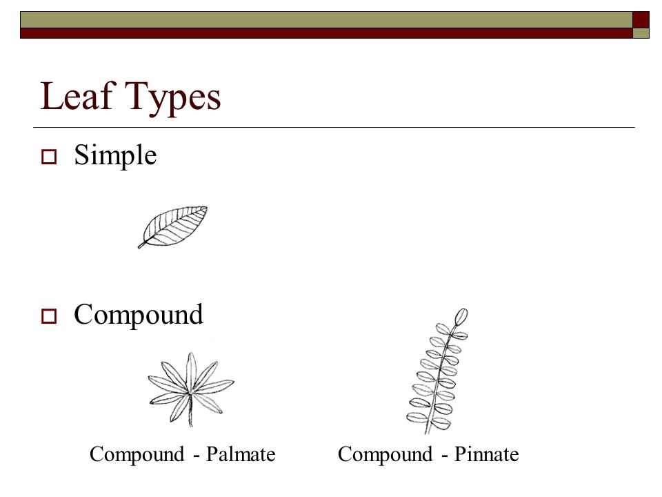 Leaf Types Simple Compound Compound - PalmateCompound - Pinnate