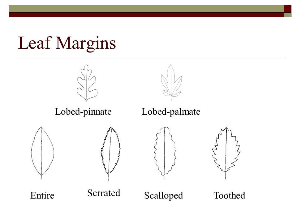 Leaf Margins Serrated Lobed-pinnateLobed-palmate ToothedScallopedEntire