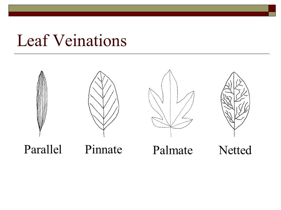 Leaf Veinations ParallelPinnate PalmateNetted
