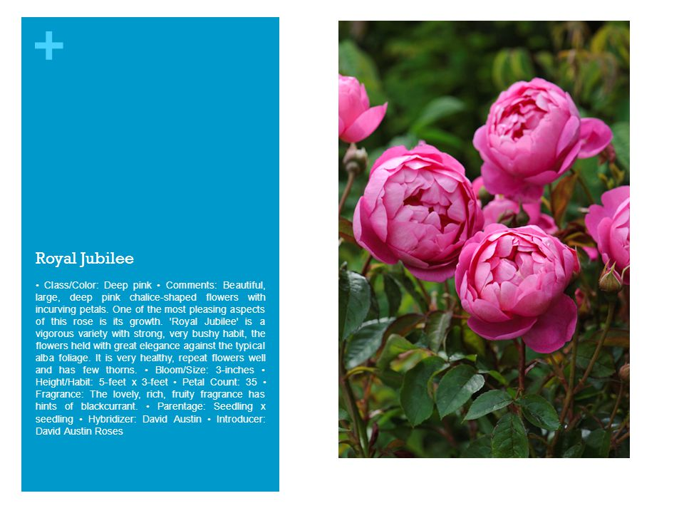 + Royal Jubilee Class/Color: Deep pink Comments: Beautiful, large, deep pink chalice-shaped flowers with incurving petals.