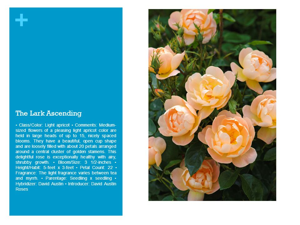 + The Lark Ascending Class/Color: Light apricot Comments: Medium- sized flowers of a pleasing light apricot color are held in large heads of up to 15, nicely spaced blooms.