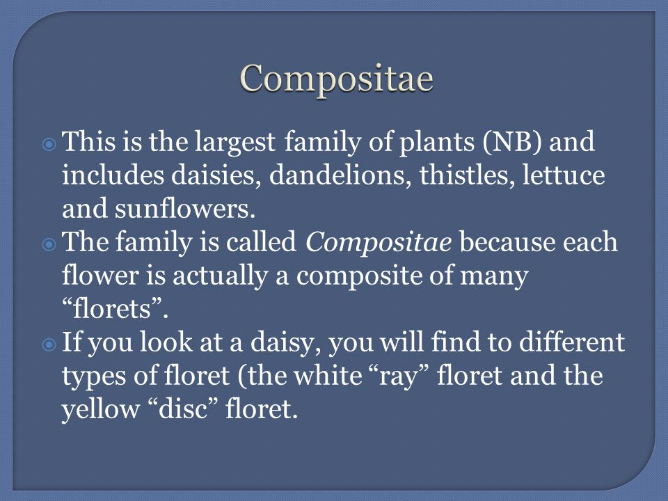 This is the largest family of plants (NB) and includes daisies, dandelions, thistles, lettuce and sunflowers. The family is called Compositae because