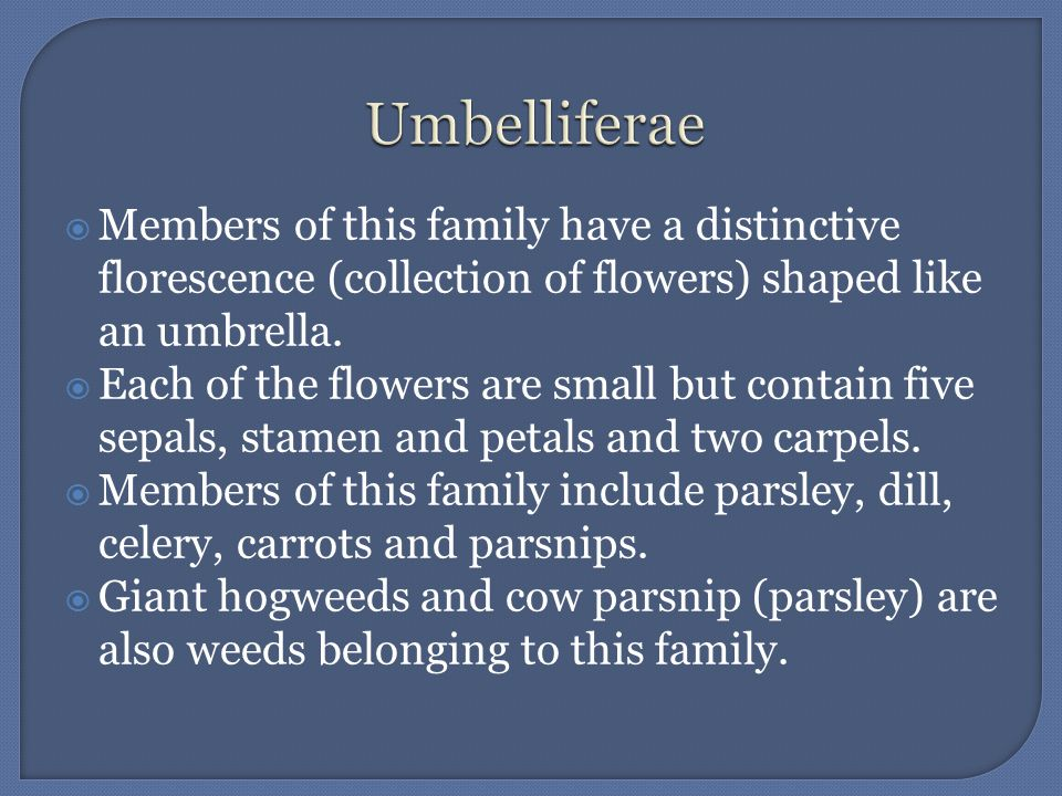 Members of this family have a distinctive florescence (collection of flowers) shaped like an umbrella. Each of the flowers are small but contain five