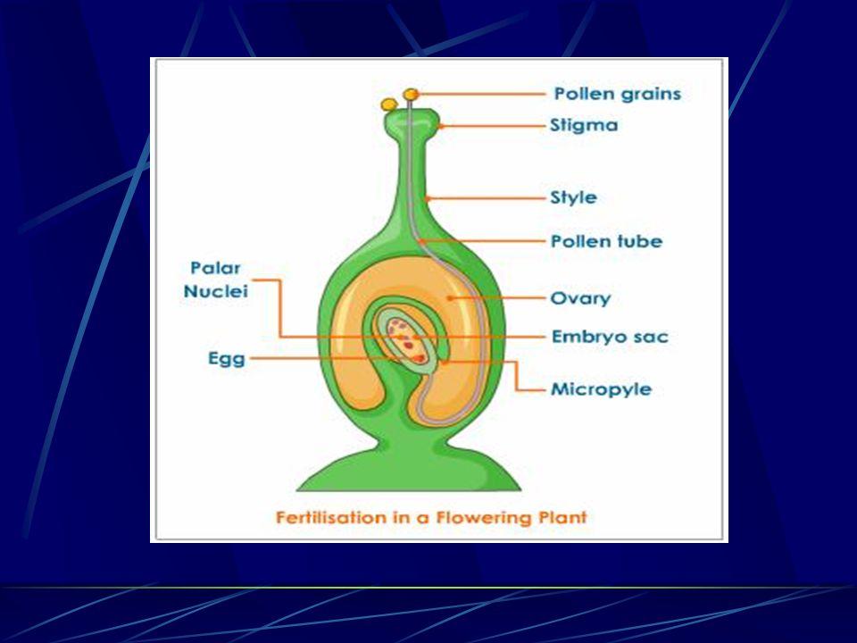 Fertilization. Fertilization is the fusion (union) of male and female gametes (sex cells)