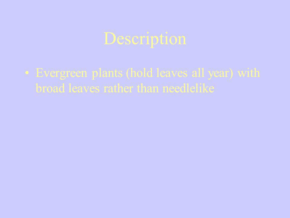 Description Evergreen plants (hold leaves all year) with broad leaves rather than needlelike