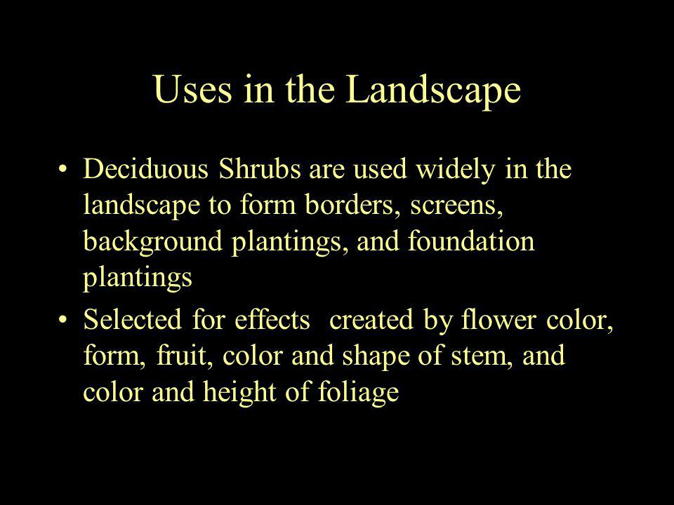 Uses in the Landscape Deciduous Shrubs are used widely in the landscape to form borders, screens, background plantings, and foundation plantings Selec