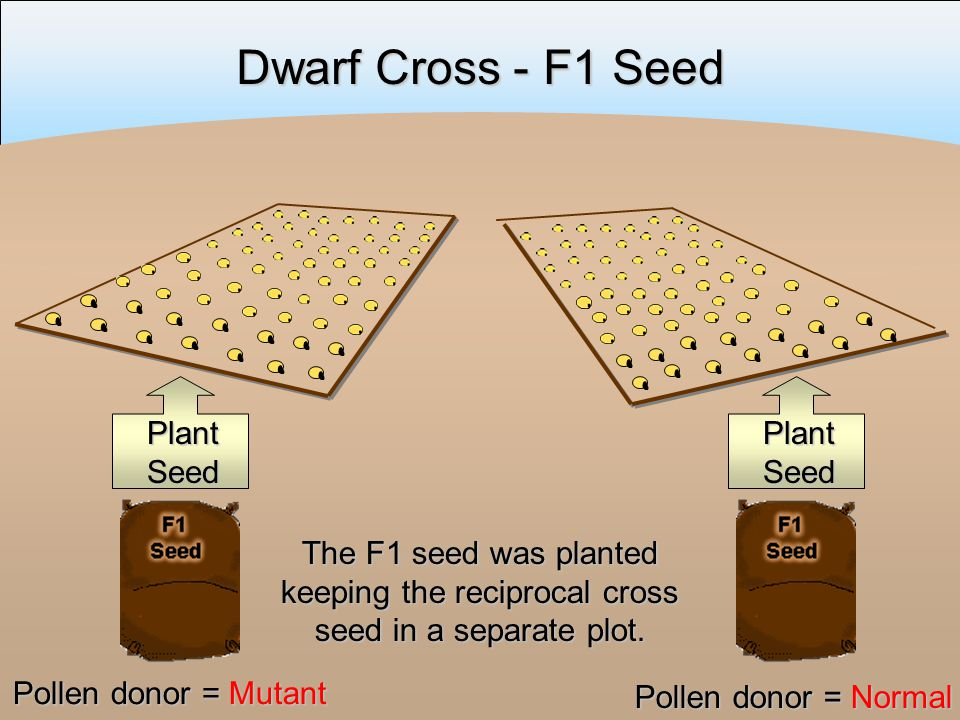 Dwarf Cross - F1 Seed The F1 seed was planted keeping the reciprocal cross seed in a separate plot.