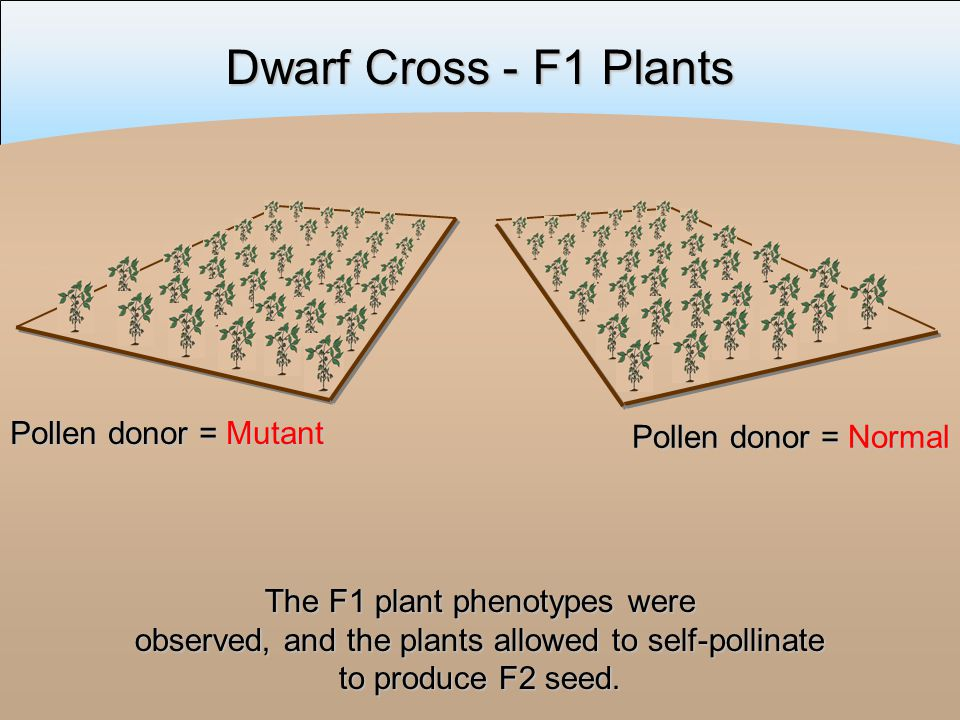 Dwarf Cross - F1 Plants The F1 plant phenotypes were observed, and the plants allowed to self-pollinate to produce F2 seed.