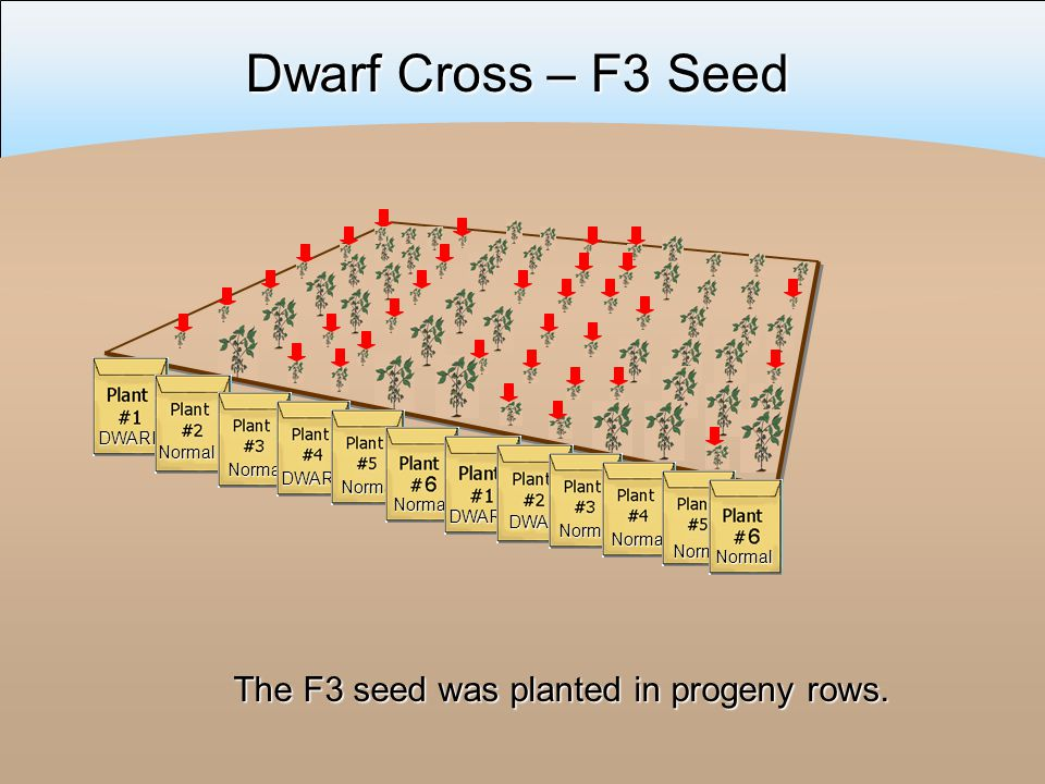 The F3 seed was planted in progeny rows.