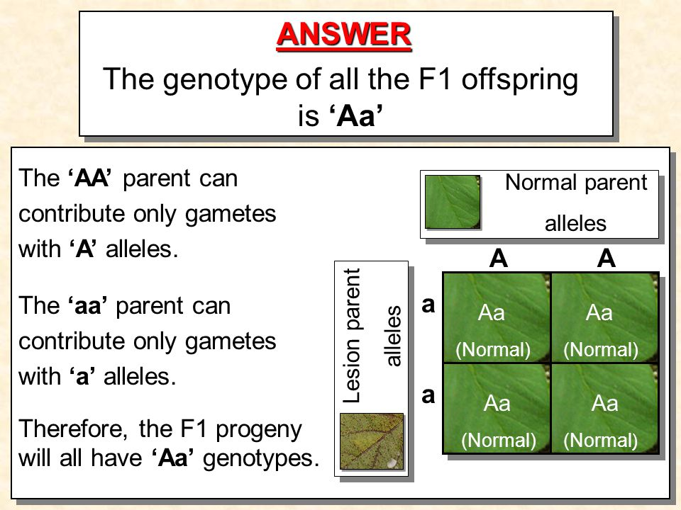 ANSWER The genotype of all the F1 offspring is Aa Aa (Normal) Aa (Normal) Aa (Normal) Aa (Normal ) Normal parent alleles Lesion parent alleles AA a a The AA parent can contribute only gametes with A alleles.