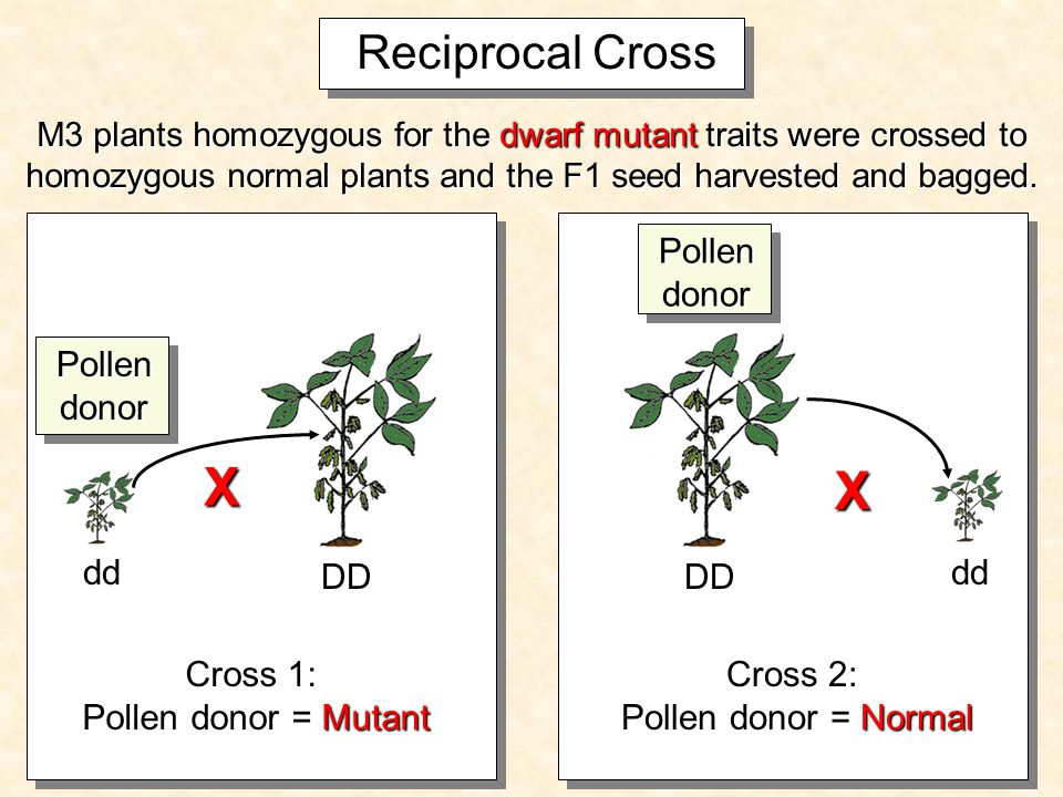 X Reciprocal Cross X M3 plants homozygous for the dwarf mutant traits were crossed to homozygous normal plants and the F1 seed harvested and bagged.