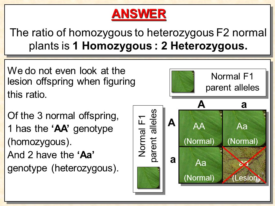 ANSWER The ratio of homozygous to heterozygous F2 normal plants is 1 Homozygous : 2 Heterozygous.