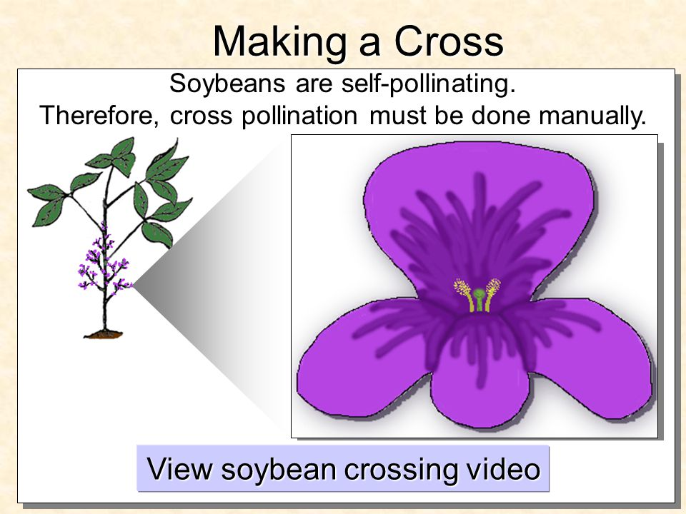 Making a Cross Soybeans are self-pollinating. Therefore, cross pollination must be done manually.