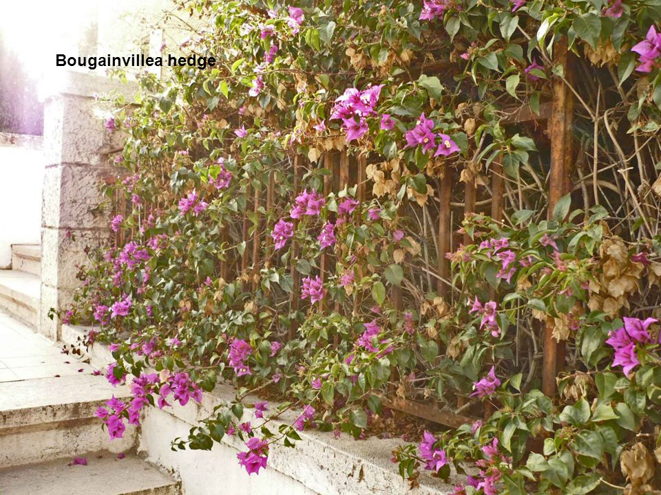 Bougainvillea hedge