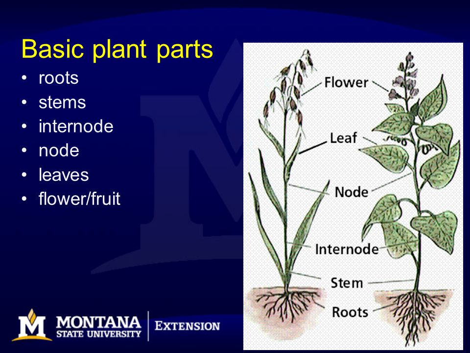 Leaves –Arrangement –Parts –Types –Shapes –Margins Identifying Characteristics