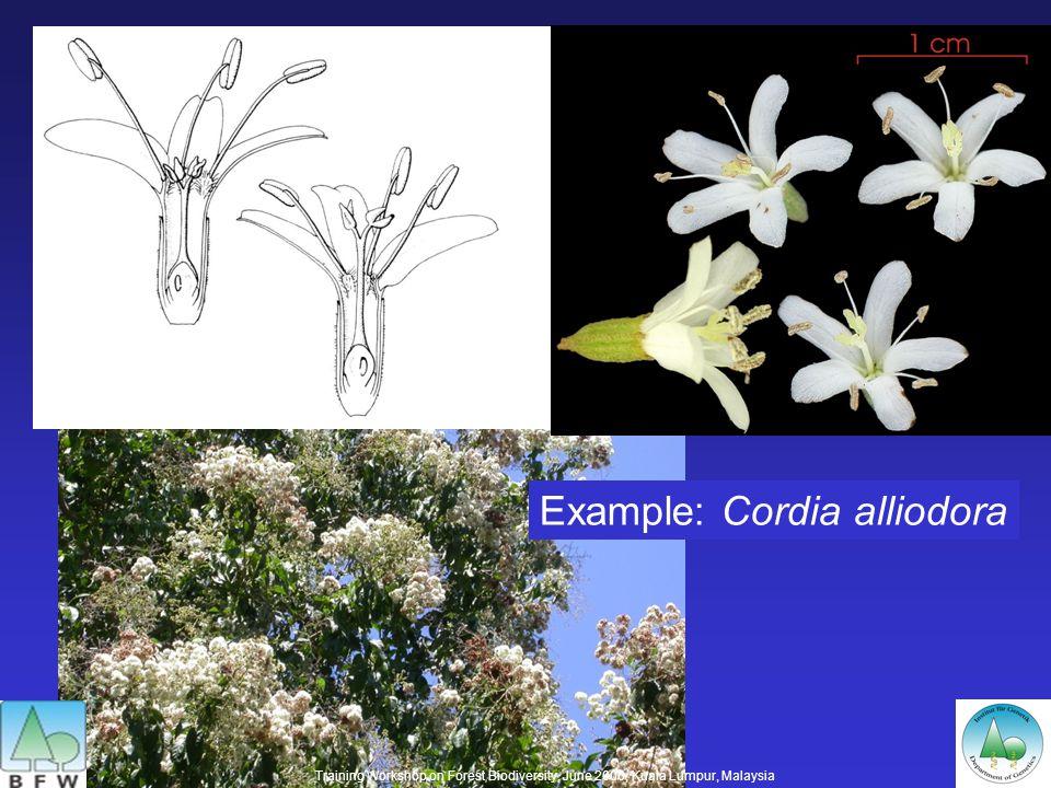 Example: Cordia alliodora