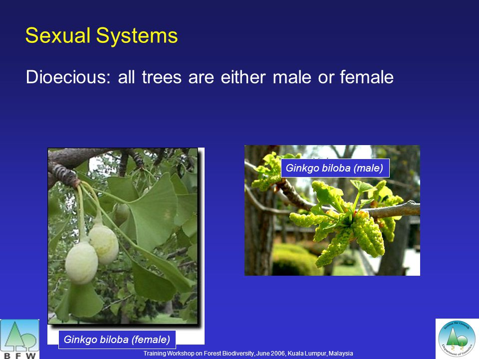 Sexual Systems Dioecious: all trees are either male or female Ginkgo biloba (female) Ginkgo biloba (male) Training Workshop on Forest Biodiversity, June 2006, Kuala Lumpur, Malaysia