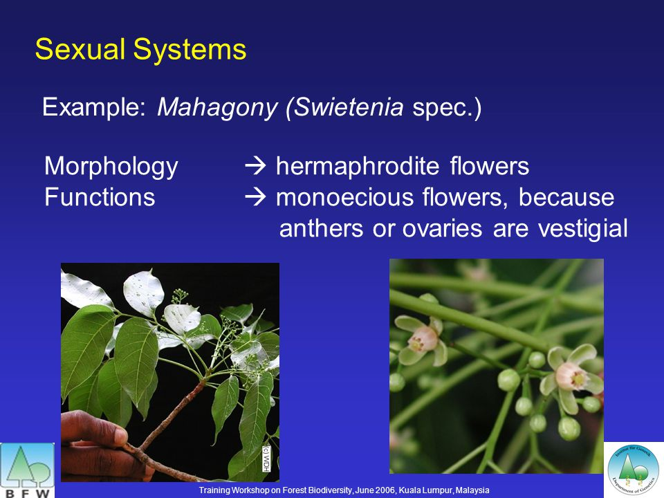 Sexual Systems Example: Mahagony (Swietenia spec.) Morphology hermaphrodite flowers Functions monoecious flowers, because anthers or ovaries are vestigial Training Workshop on Forest Biodiversity, June 2006, Kuala Lumpur, Malaysia