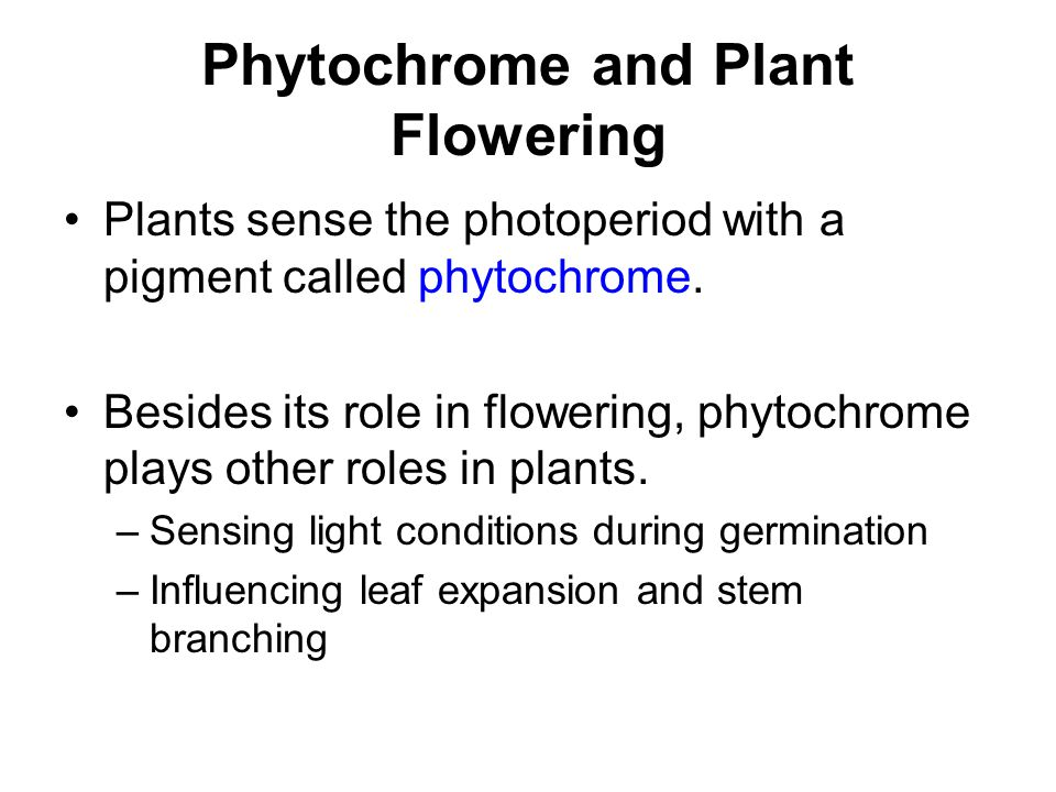 Phytochrome and Plant Flowering Plants sense the photoperiod with a pigment called phytochrome. Besides its role in flowering, phytochrome plays other