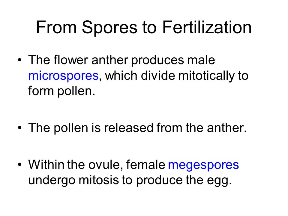 From Spores to Fertilization The flower anther produces male microspores, which divide mitotically to form pollen. The pollen is released from the ant