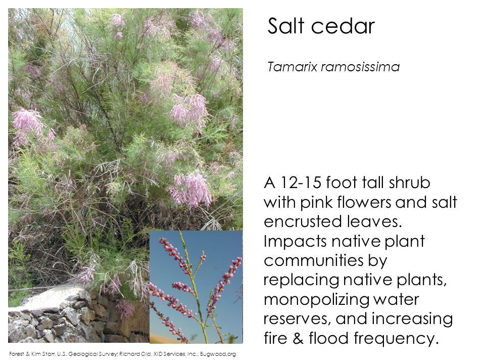 Salt cedar Forest & Kim Starr, U.S. Geological Survey; Richard Old, XID Services, Inc., Bugwood.org A 12-15 foot tall shrub with pink flowers and salt