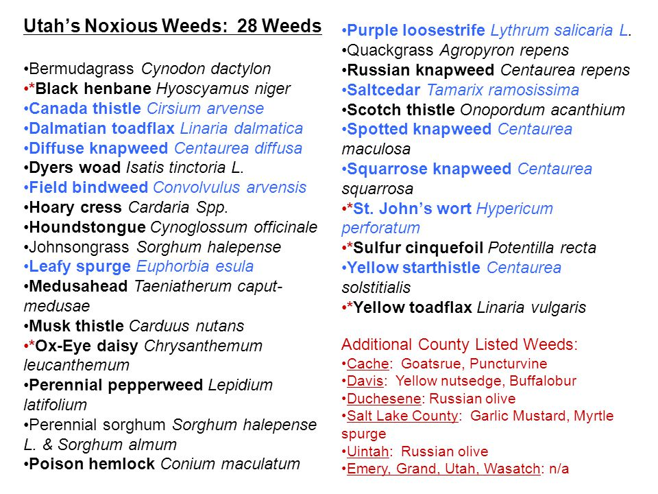 Utahs Noxious Weeds: 28 Weeds Bermudagrass Cynodon dactylon *Black henbane Hyoscyamus niger Canada thistle Cirsium arvense Dalmatian toadflax Linaria