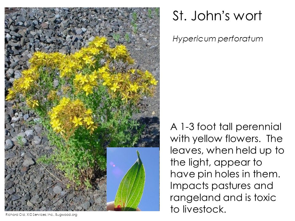 St. John s wort Richard Old, XID Services, Inc., Bugwood.org A 1-3 foot tall perennial with yellow flowers. The leaves, when held up to the light, app