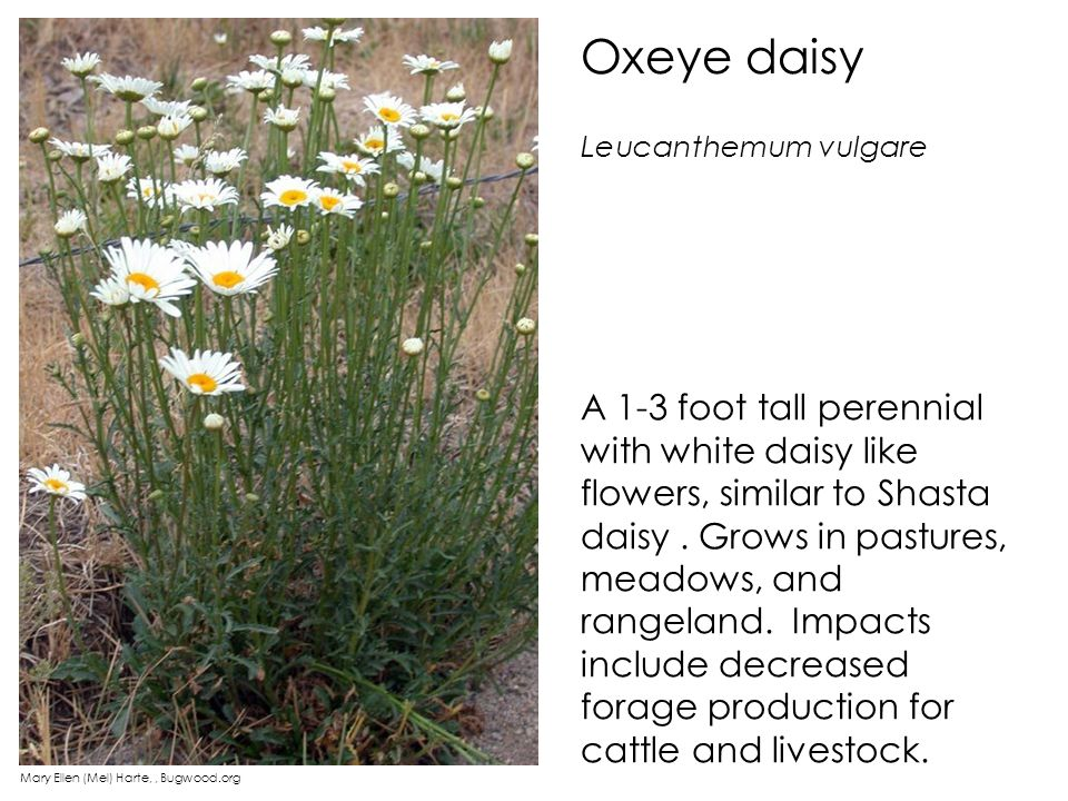 Oxeye daisy A 1-3 foot tall perennial with white daisy like flowers, similar to Shasta daisy. Grows in pastures, meadows, and rangeland. Impacts inclu